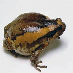 Chubby frog care there are