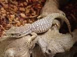 Baby Savannah Monitors Varanus exanthematicus