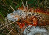 Large Adult Male Red Iguana