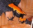 Orange Splashback Poison Dart Frog